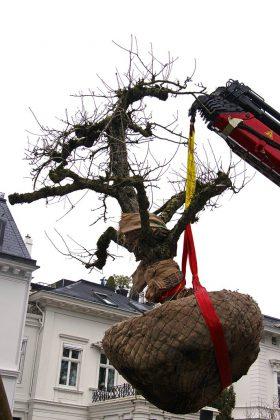 Umzug des Baumes.