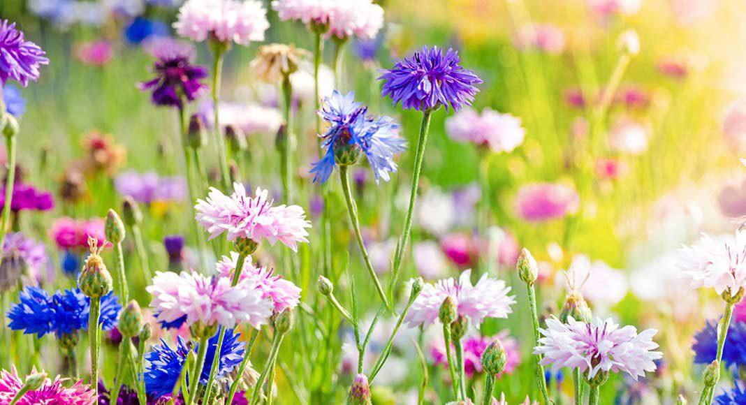 Blumen als Erreger für Allergien.