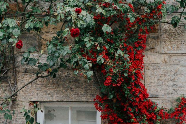 Fassadenbegrünung mit Rosen